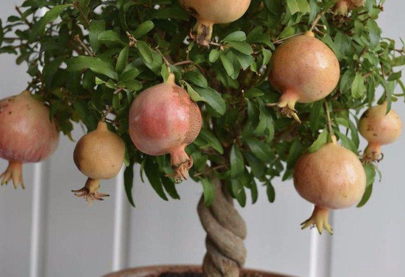 Doppel Rot Geblümt Granatapfel Punica Granatapfel Flore Pleno Busch in 8cm Topf