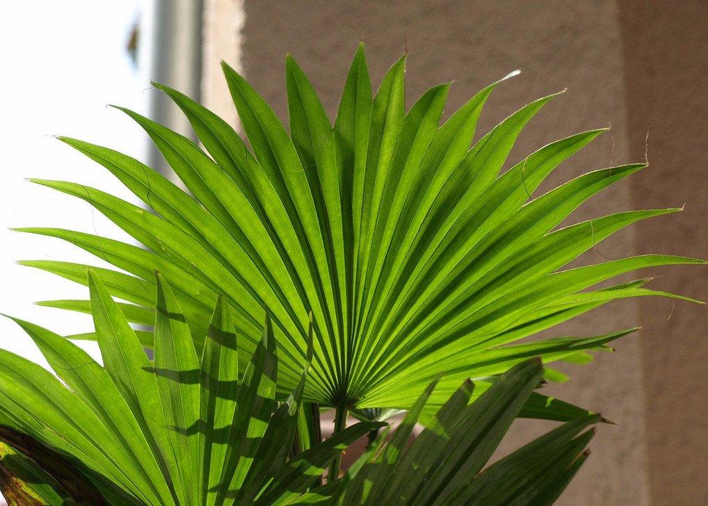 Пальма ливистона фото