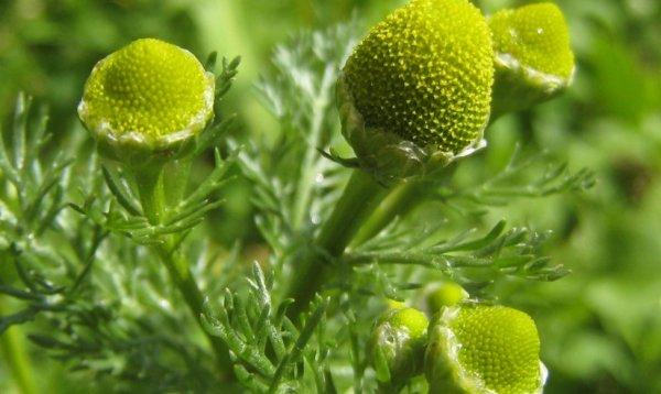 Садовые и лечебные виды ромашек: фото, названия, описание ...