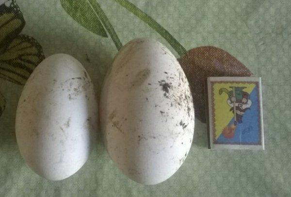 Когда начинают нестись домашние гуси, сколько яиц несет ...