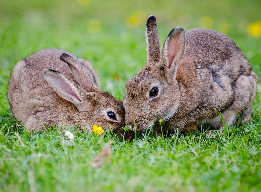 Методы определения пола у кроликов