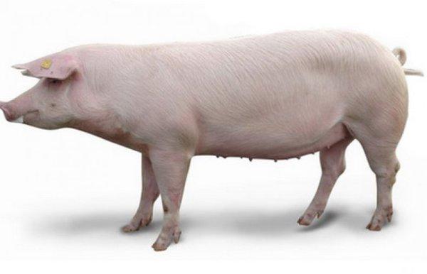 Какие бывают свиньи: описание и фото популярных пород
