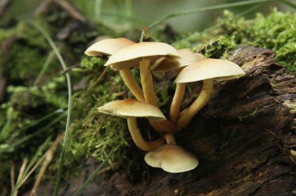 Съедобные и ядовитые грибы Приморского края: фото и описание