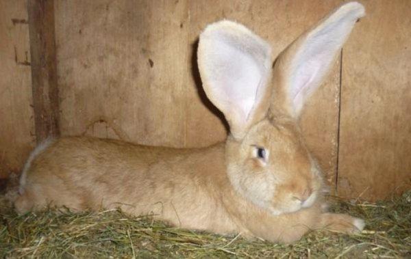 Кролик ризен (немецкий гигант): описание породы, фото ...