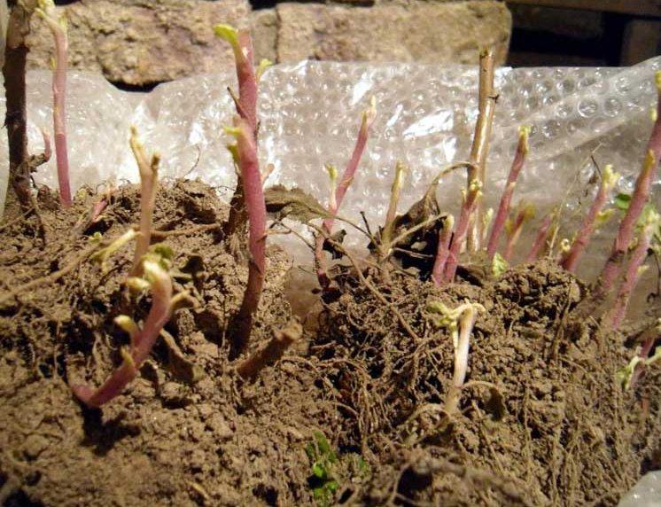 Хризантема дала корни в вазе как посадить