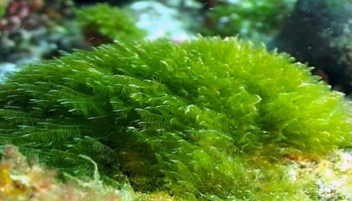Algas pequeñas verdes