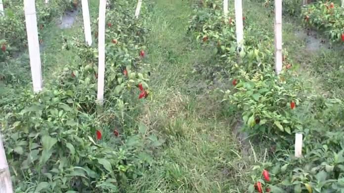 Plantas de ají