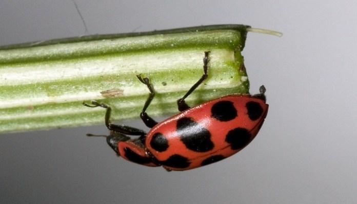 Coleóptero Coleomegilla Maculata