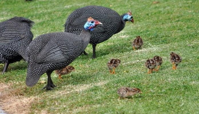 Gallinas de guinea con polluelos