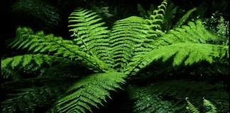 plantas de helechos