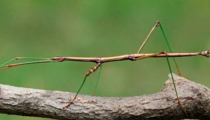 Insecto palito