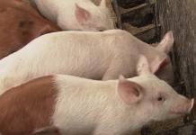 alimentación para cerdos por etapas.