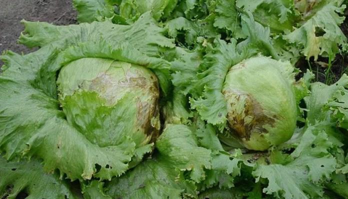 plaga de varios cultivos agrarios de plantas ornamentales y frutas.
