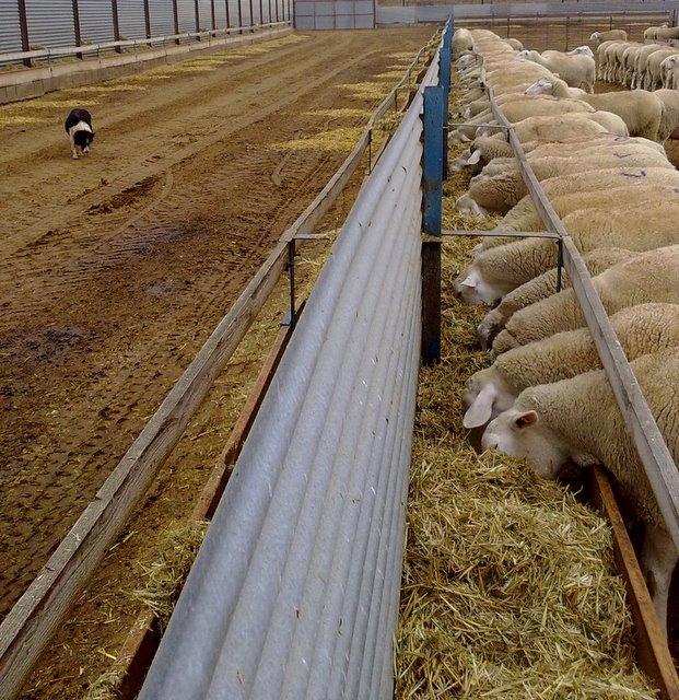 ovejas en el comedero