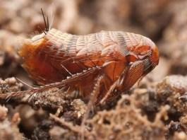 tipos de pulgas
