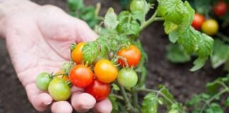 riego por goteo para tomate