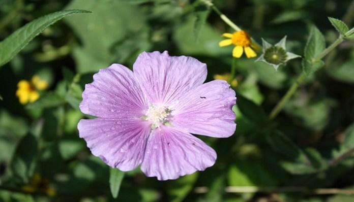 flor alache