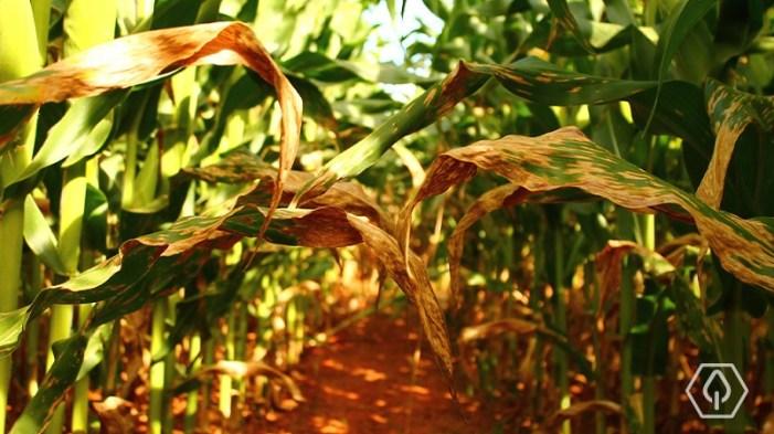Doenças do milho - Cercosporiose (Cercospora zeae-maydis)