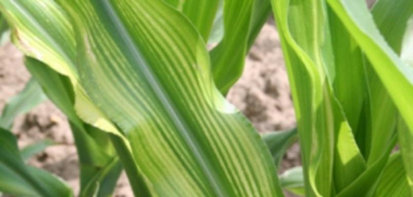 Doenças do milho - Mosaico na cultura do milho