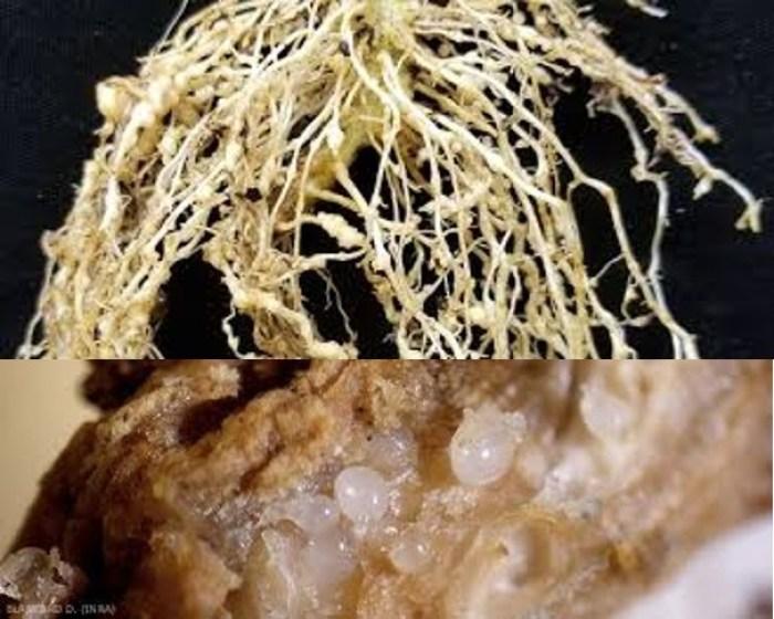 Nematoide das galhas