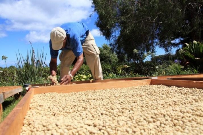 Importância da Secagem do café