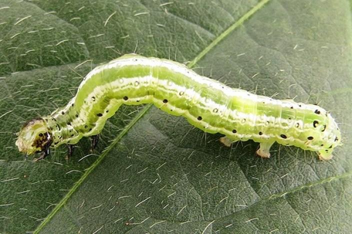 Lagarta falsa-medideira (Chrysodeixis includens)