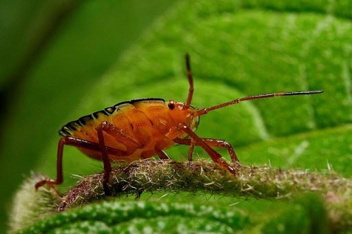 PERCEVEJO-CASTANHO (Scaptocoris castanea)