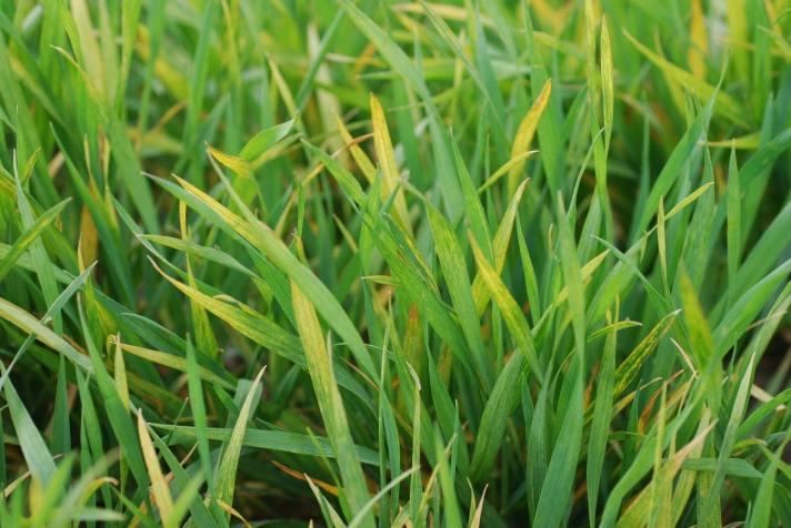 Plantas de trigo com sintomas de mosaico