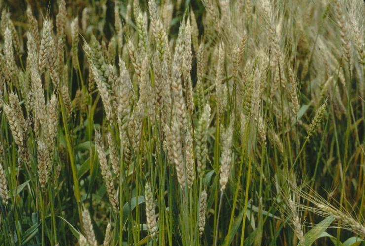 sintomas da giberela no trigo