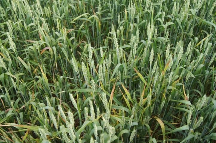 sintomas do nanismo amarelo da cevada em plantio de trigo
