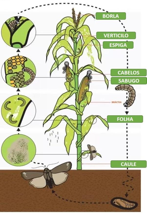 Ciclo de vida da lagarta do cartucho