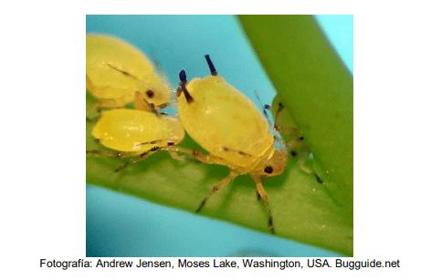 Aphis spiraecola o pulgón verde de los cítricos