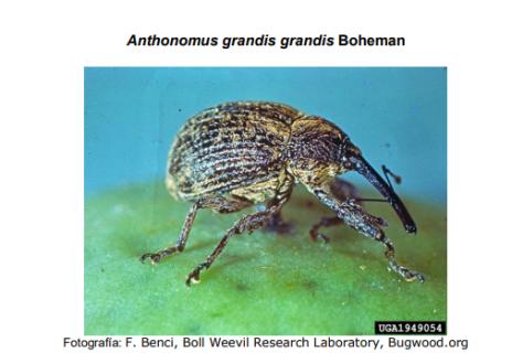 Anthonomus grandis llamado también como picudo del algodón