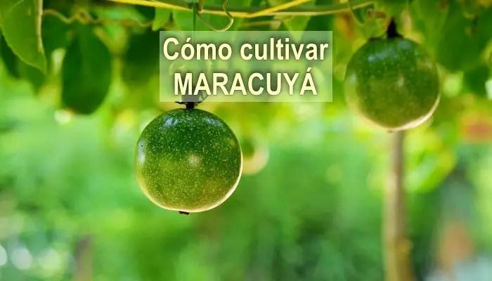 cómo cultivar maracuya