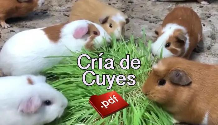 Cría de Cuyes