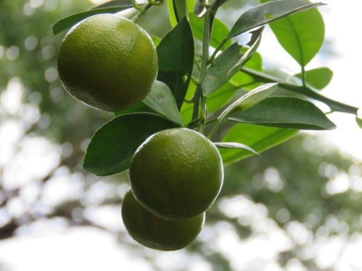Limões, produção de citrus