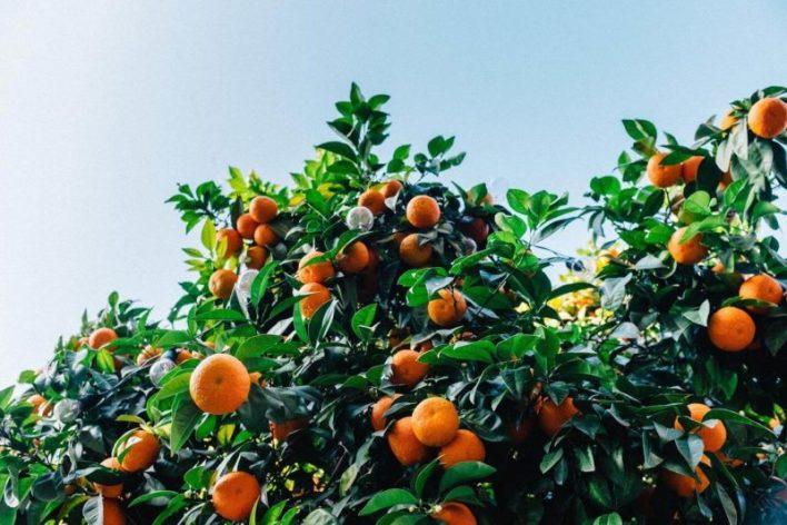 Tangerinas, produção de citrus