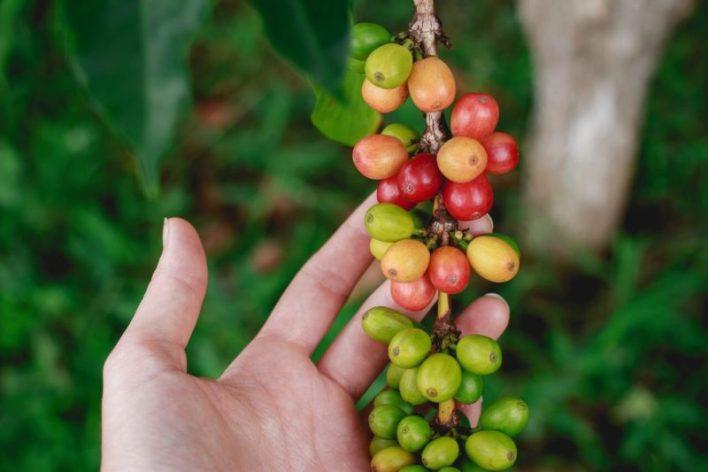 Grãos de café na mão