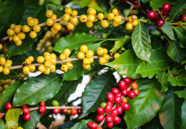Grãos de café (Agrosmart)