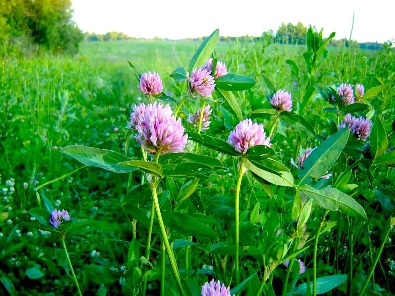 Clover Red Meadow.