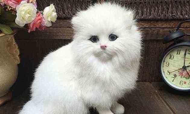 13 Cara Membedakan Kucing Persia Palsu dan Asli