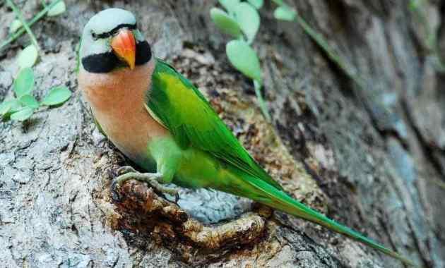 Mengapa Burung Betet Bisa Berbicara