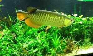 Cara Memelihara Ikan Arwana di Dalam Aquarium
