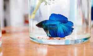 Jenis-jenis Makanan Ikan Cupang Untuk Pertumbuhan