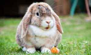 Ketahuilah! ini 9 Ciri Kelinci Sedang Hamil Yang Harus Diperhatikan