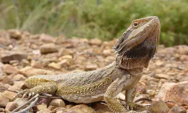 Pogona Barbata (Eastern bearded dragon)