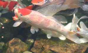 5 Jenis Penyakit Ikan Koi dan Cara Mengobatinya