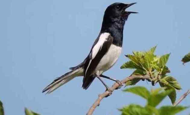 Burung Kacer Jenis, Ciri, Karakter, Habitat dan Perawatan