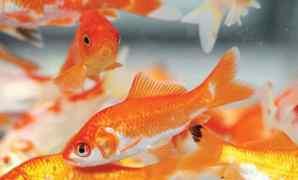 Ikan Mas Ciri, Karakteristik, Habitat, Jenis, dan Harga
