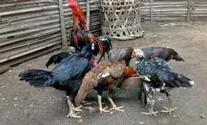 6 Cara Ternak Ayam Bangkok Untuk Pemula Hasil Melimpah